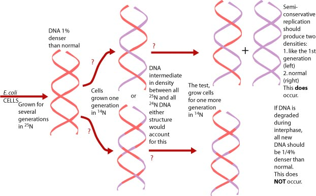 American board the results showed dna of only two different densities exactly as predicted by the semi conservative model the diagram below shows the results ccuart Choice Image